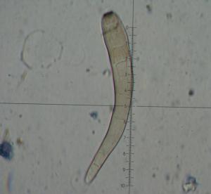 Corynespora 4